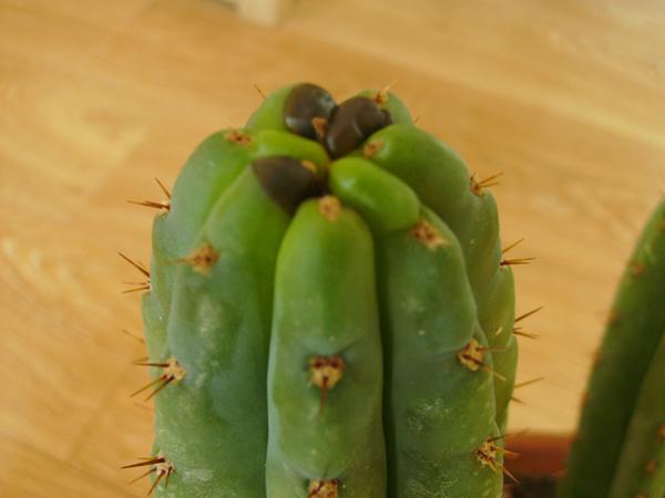 A Növényvédelem ábécésetalo.hu [1q7j4g8k3oqv] - Helminthosporium cactivorum