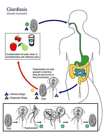 a giardia fogyást okozhat papilloma vírus tudományos neve