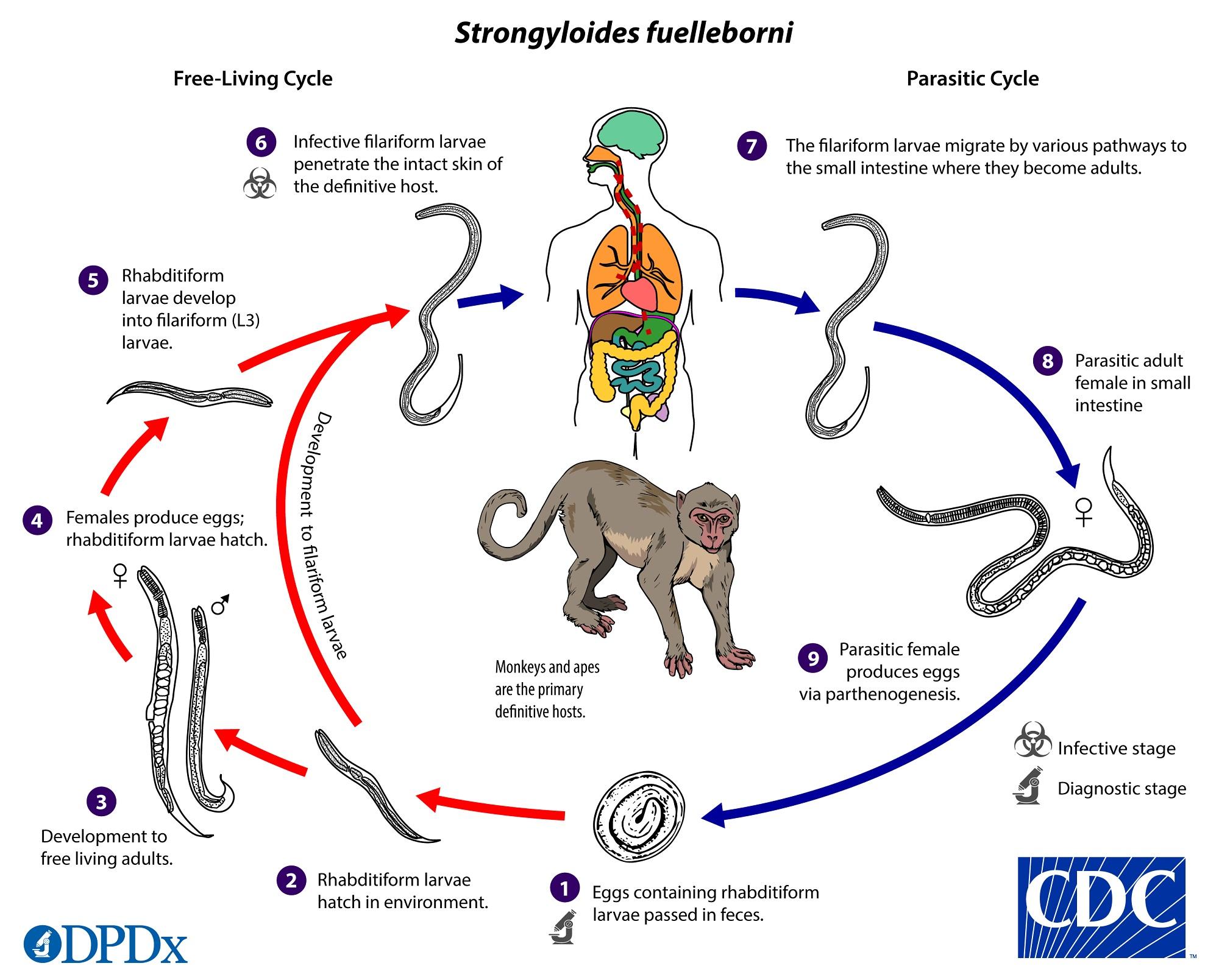 strongyloidosis leírása
