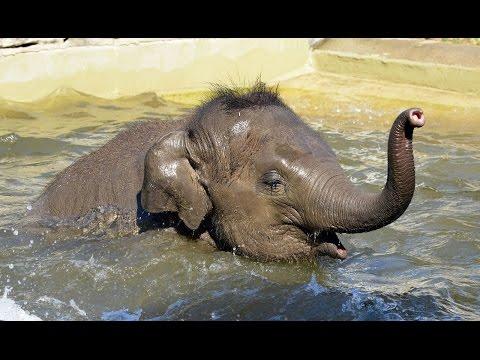 képmutató elefánt és emberi paraziták)