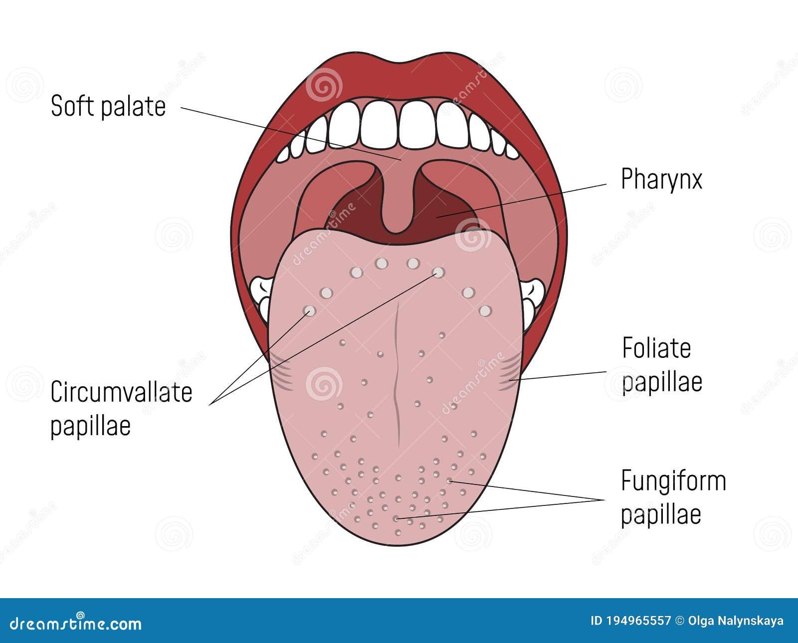 papilla alapú lingua