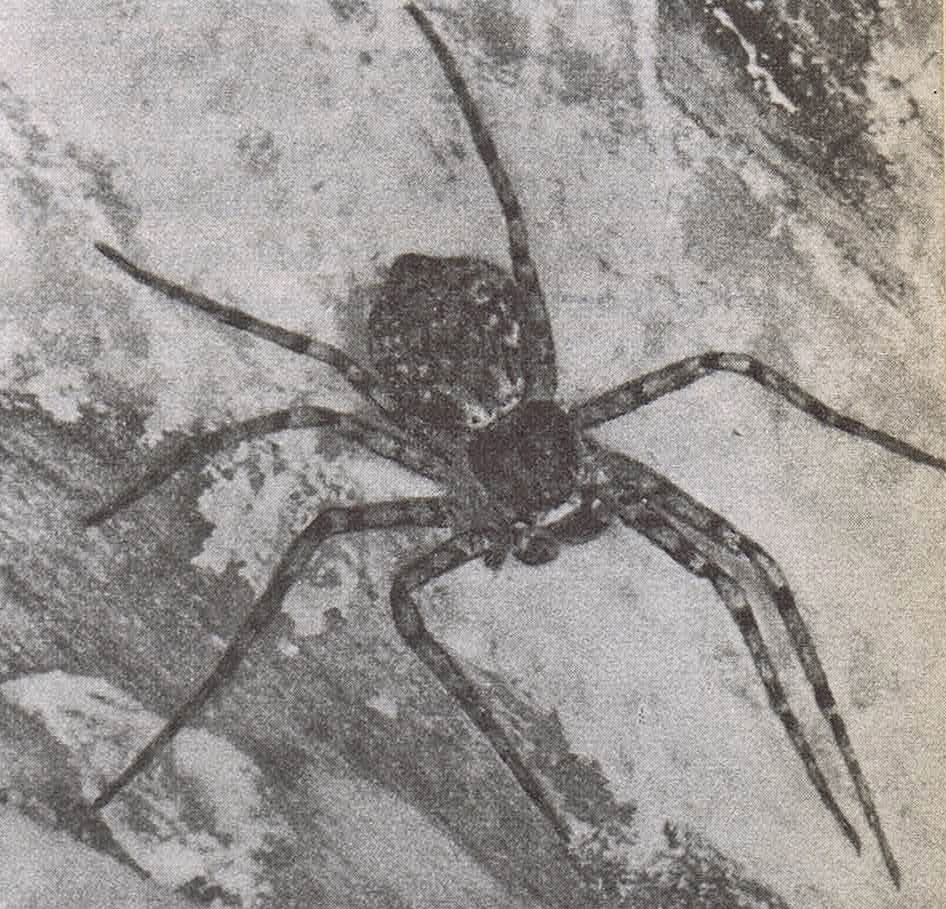 hasonló színű pók)