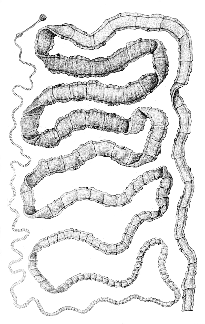 féregtelenítő helminth co fertőzés