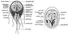 Giardia fertőzés (giardiasis)