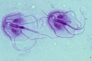 Giardia hond besmettelijk voor mens
