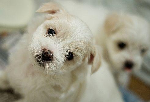 orális papilloma kutyáknál)