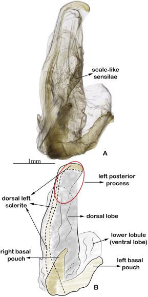 a condyloma genitális inkubációjának időszaka)