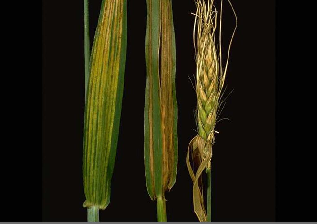 Helminthosporium gramineum, Crop Science | Magyarország - Kórokozók