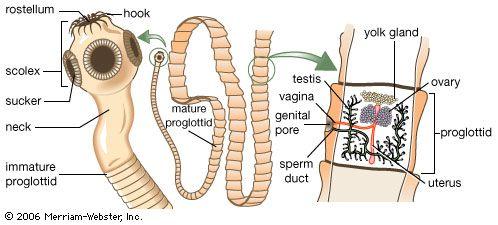 Platyhelminthes cestoda fajok Galandférgek