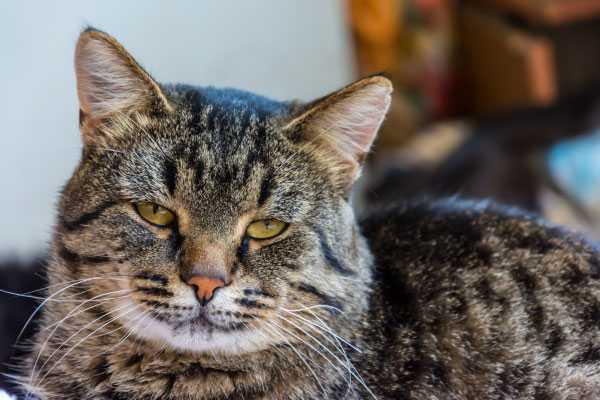 macskák rühének kezelése)