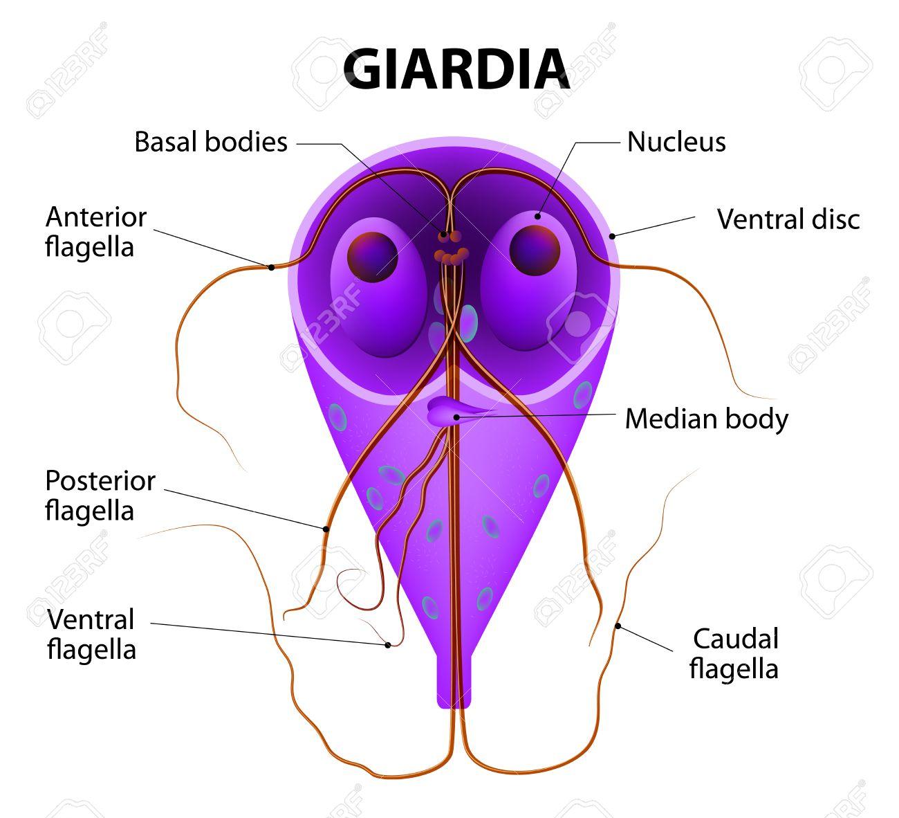 képek a giardia protozoákról)