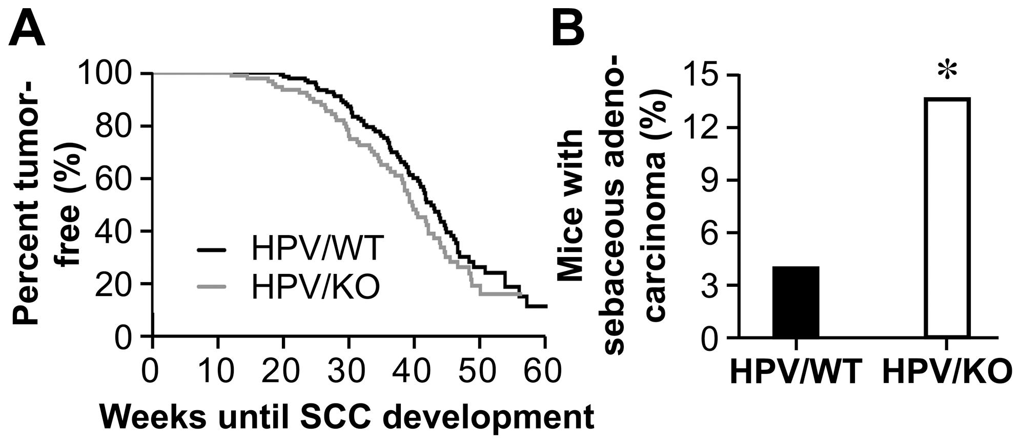 Onkogén vírus – Wikipédia