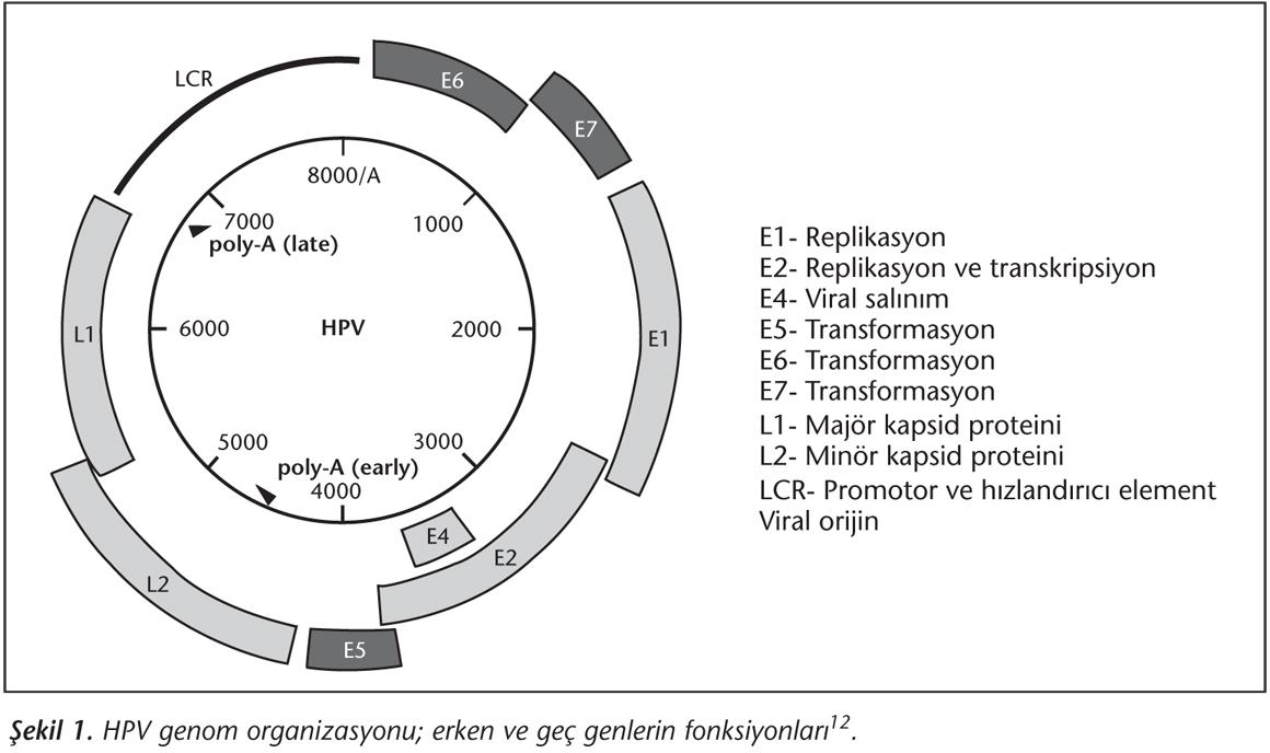 a condyloma nagysága beöntés a paraziták kezelésében