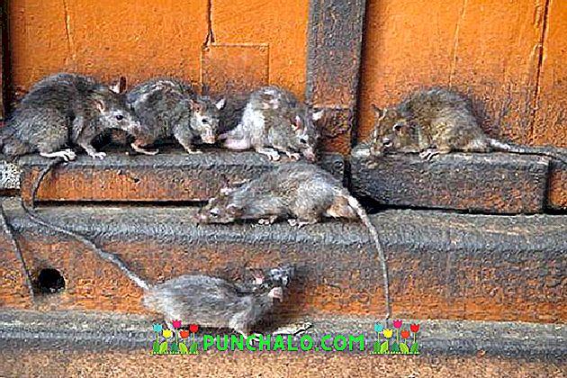 patkánnyal történő fejlődés)