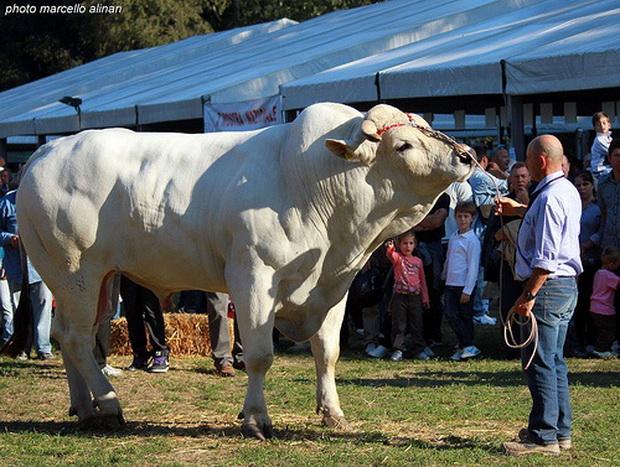 a legnagyobb bika