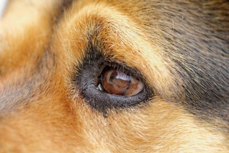 kutya szeme