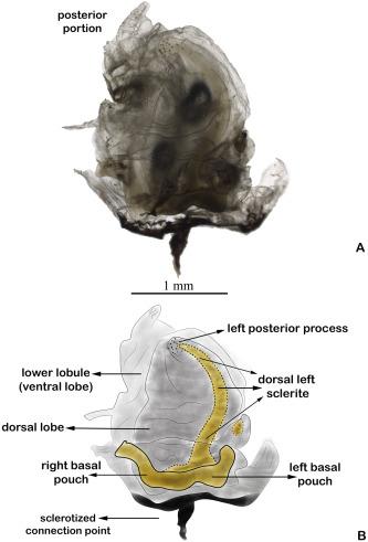 a condyloma genitális inkubációjának időszaka