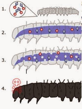 transzgenikus baktérium toxin bacillus thuringiensis nemi szemölcsök eltávolítása a méhnyakban
