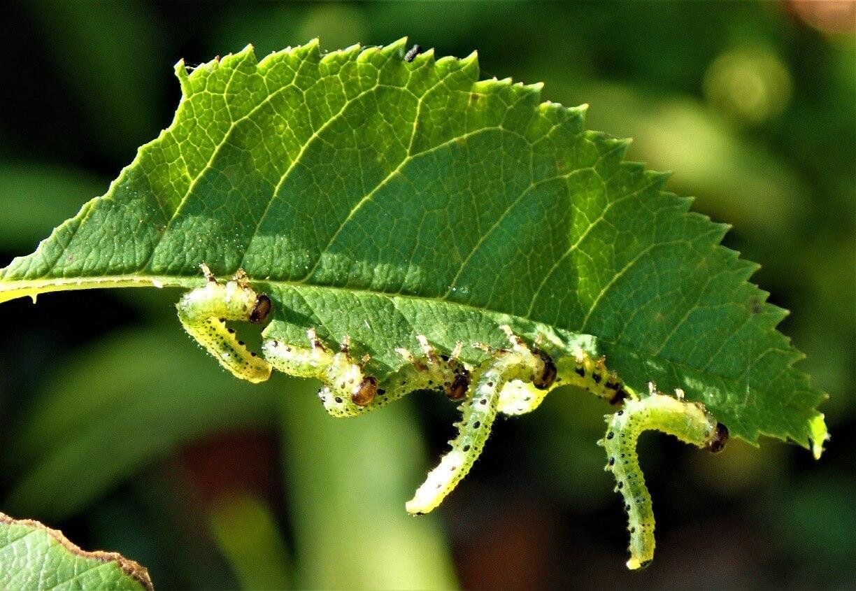 Melyek a dísznövényeinkre legkártékonyabb bogarak?