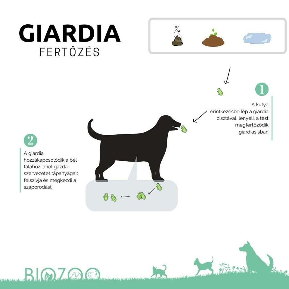 giardia a macskák kezelésében