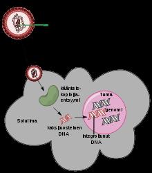 papillomavírus onkogén meghatározása