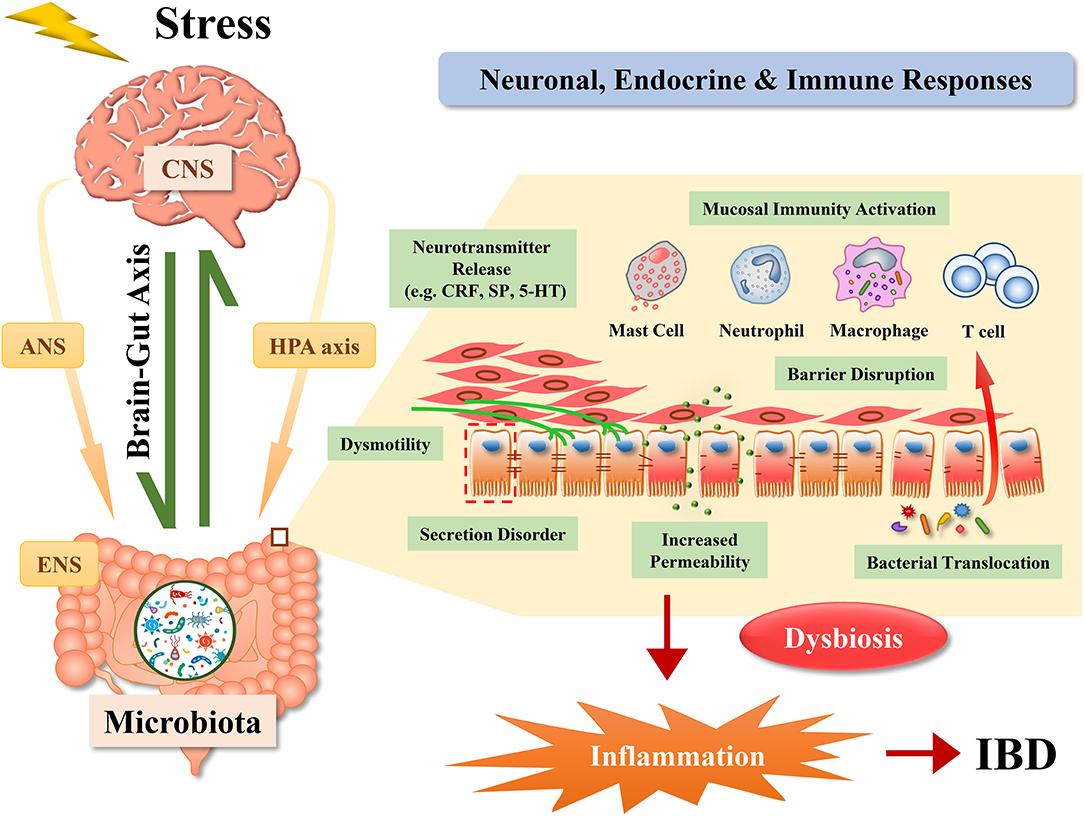 stressz dysbiosis