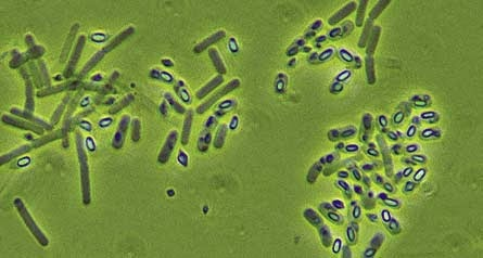 transzgenikus baktérium toxin bacillus thuringiensis gége papillomatosis kezelése