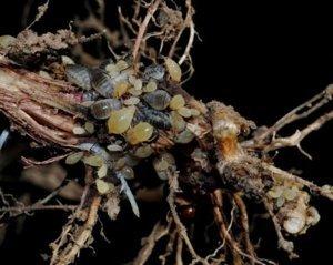 a lárvák gömbférgekké fejlődnek
