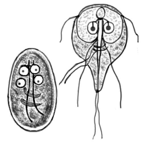 A Giardiasis kezelési rendszerének fóruma Utazók hasmenése – Wikipédia
