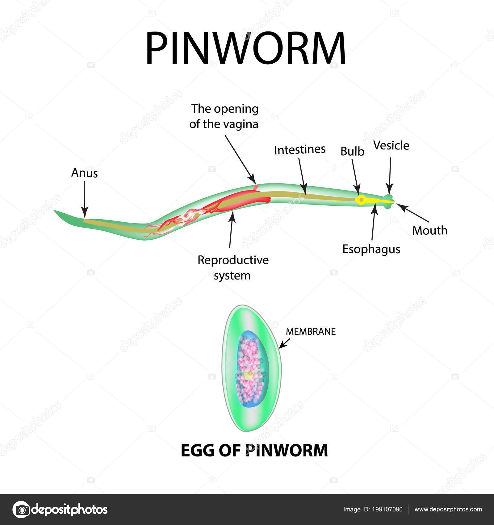 Pinworm fejlesztési ciklusdiagram. Giardia u psa liecba