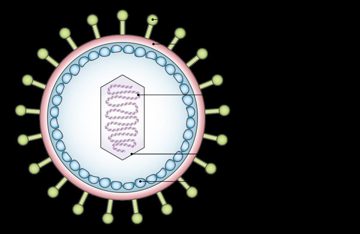 humán papillomavírus vírusgenom az emberi paraziták gyógyítása