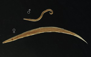 enterobius vermicularis tojásméret)