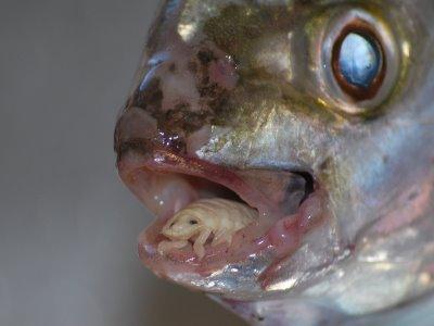 parazita férgek a halakban