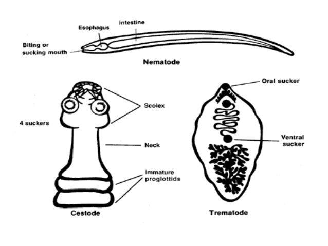 a platyhelmintek cestoda tulajdonságai