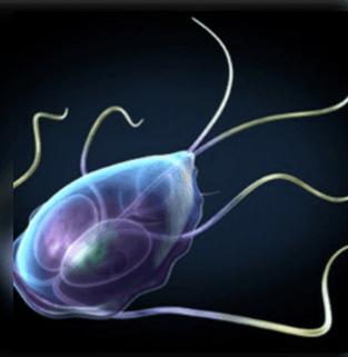 paraziták az emberi fej kezelésében