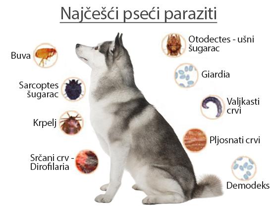 crijevni paraziták kod pasa slike)
