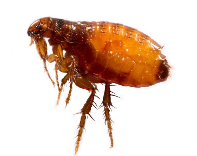 Bors paraziták,