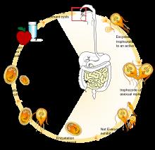 répa giardiasis