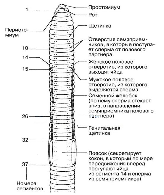 az emberi fonálféreg táplálása és emésztése)