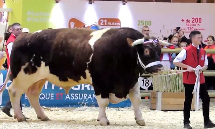 A legnagyobb bika. A világ legnagyobb tehenek: fajták, leírás, fénykép
