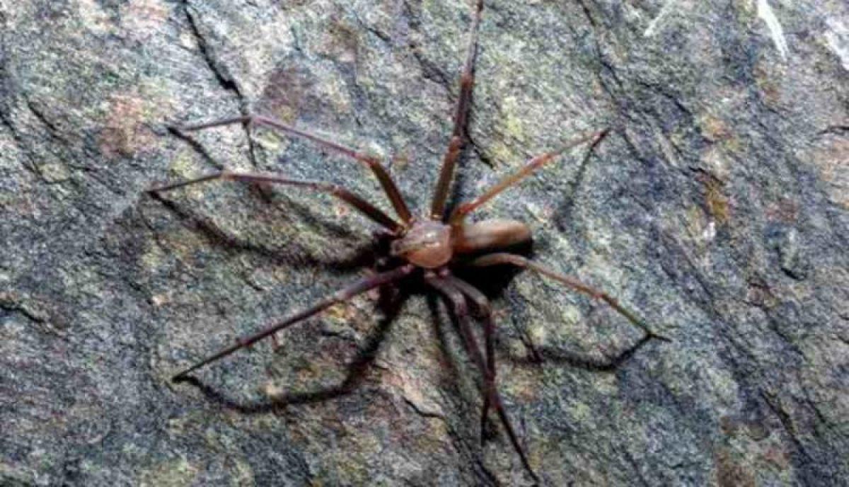 magányos pók