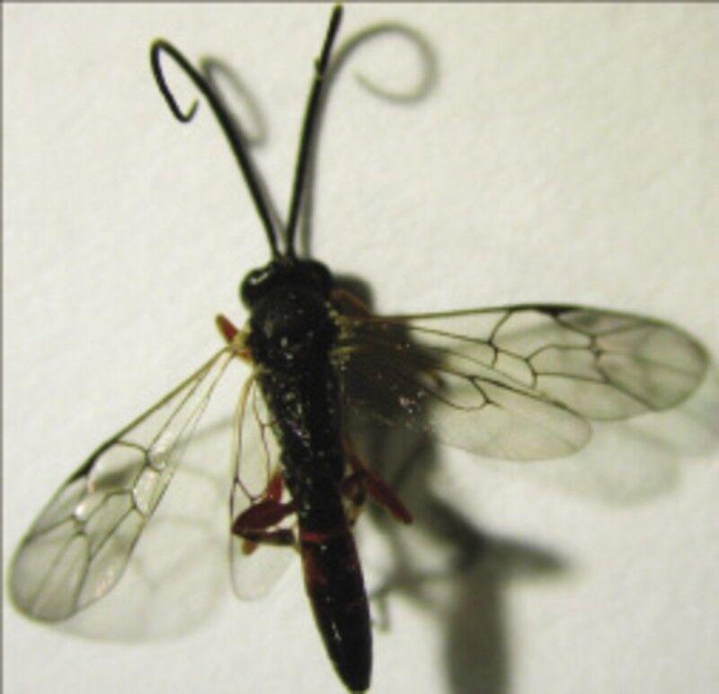pillangó zeugma lara