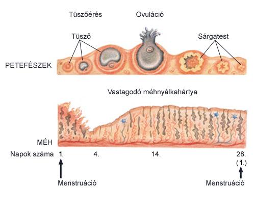 biológiai ciklusú pinwormok)