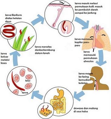 Contoh nemathelminthes dan peranannya - Immunitás - a férgek megelőzése