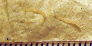 lomper a pinwormokért