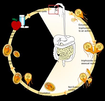 giardia gastrointestinalis wikipédia)