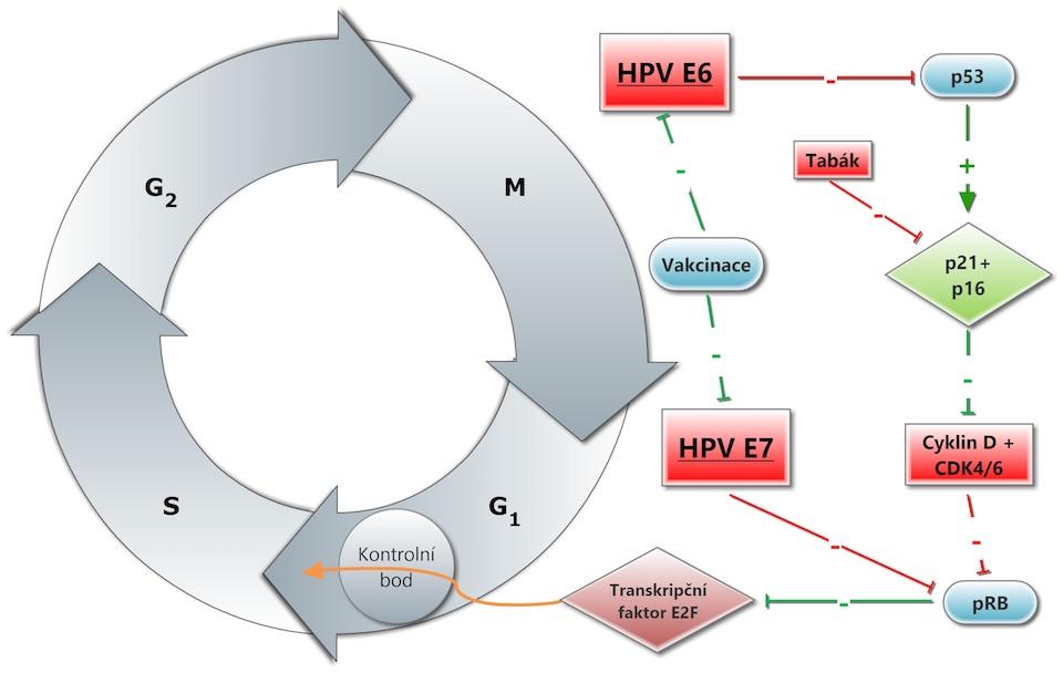 hpv pozitív tumor