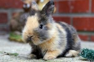 Állatorvosi tanácsok házinyúl-tenyésztőknek
