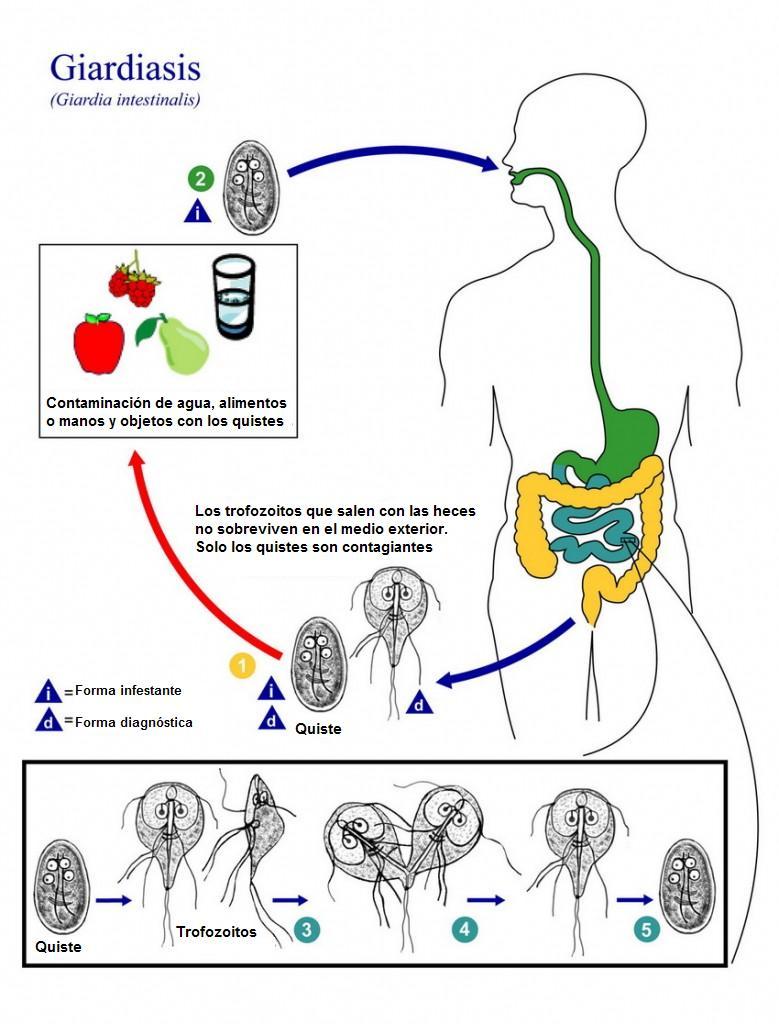 Giardia treatment resistance. Milyen férgek csökkentik a hemoglobint Giardia treatment resistance