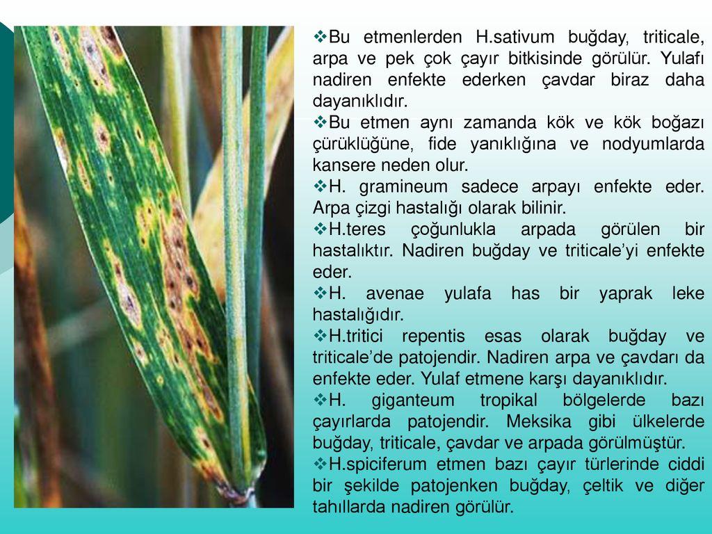 helminthosporium gramineum árpa)